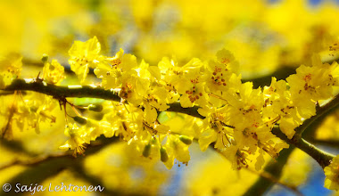 Photo: The Palo Brea trees are in full bloom this week and are stunning with their bright yellow flowers :)  Saija Lehtonen Photography  #Trees #Flowers #Floral #Yellow #Nature #Photography #Southwest