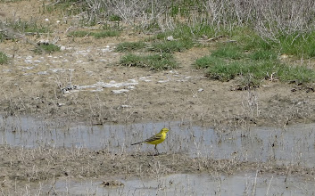 Photo: Wow, a yellow wagtail !