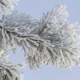 Frosty by Bill Diller - Nature Up Close Trees & Bushes ( pine tree, forest, pine, michigan, nature, woods, winter, port crescent state park, ice, pine needles, tranquil, state park, peaceful, calm, wintry, white, hoar frost, frost, snow, calmness, tranquility )