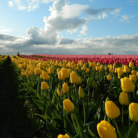 tulip trench by Christy Hamerly - Landscapes Prairies, Meadows & Fields