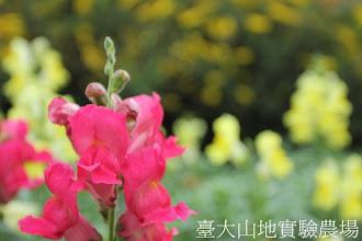 Photo: 拍攝地點: 梅峰-溫帶花卉區 拍攝植物: 金魚草 拍攝日期:2012_05_26_FY