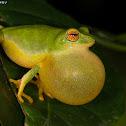 Jayaram's Bush Frog