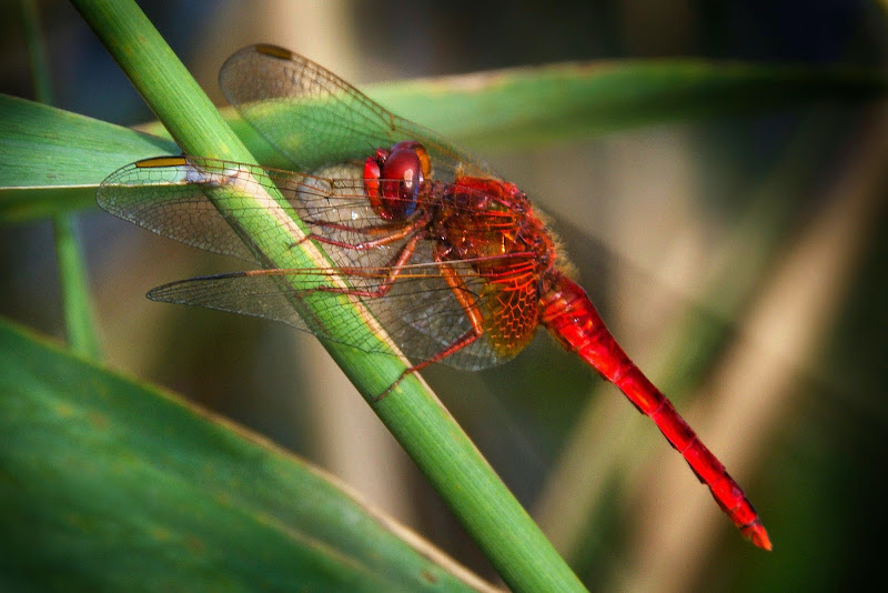 Red Dragonfly di Cinthia
