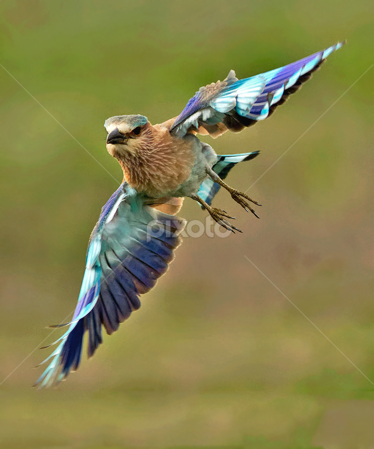 INDIAN ROLLER by Subramanniyan Mani - Animals Birds ( bird, flight, nature, action, wildlife, indian roller )