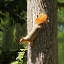 Persian or Caucasian squirrel