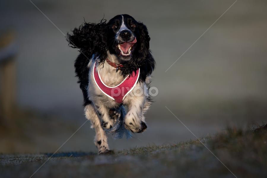 Poppy Running by Michael Ripley - Animals - Dogs Running ( running, spaniel, animals, dog, springer )