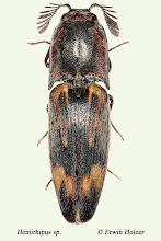 Photo: Hemirhipus sp., 20,5 mm, Costa Rica, Boca Tapada (10°41´/-84°11´), leg. Gernot Kunz, det. Erwin Holzer