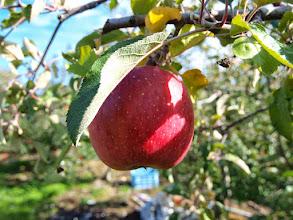 Photo: りんご@さくほ育ちの高原果実