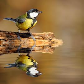 Mésange charbonnière by Gérard CHATENET - Animals Birds (  )