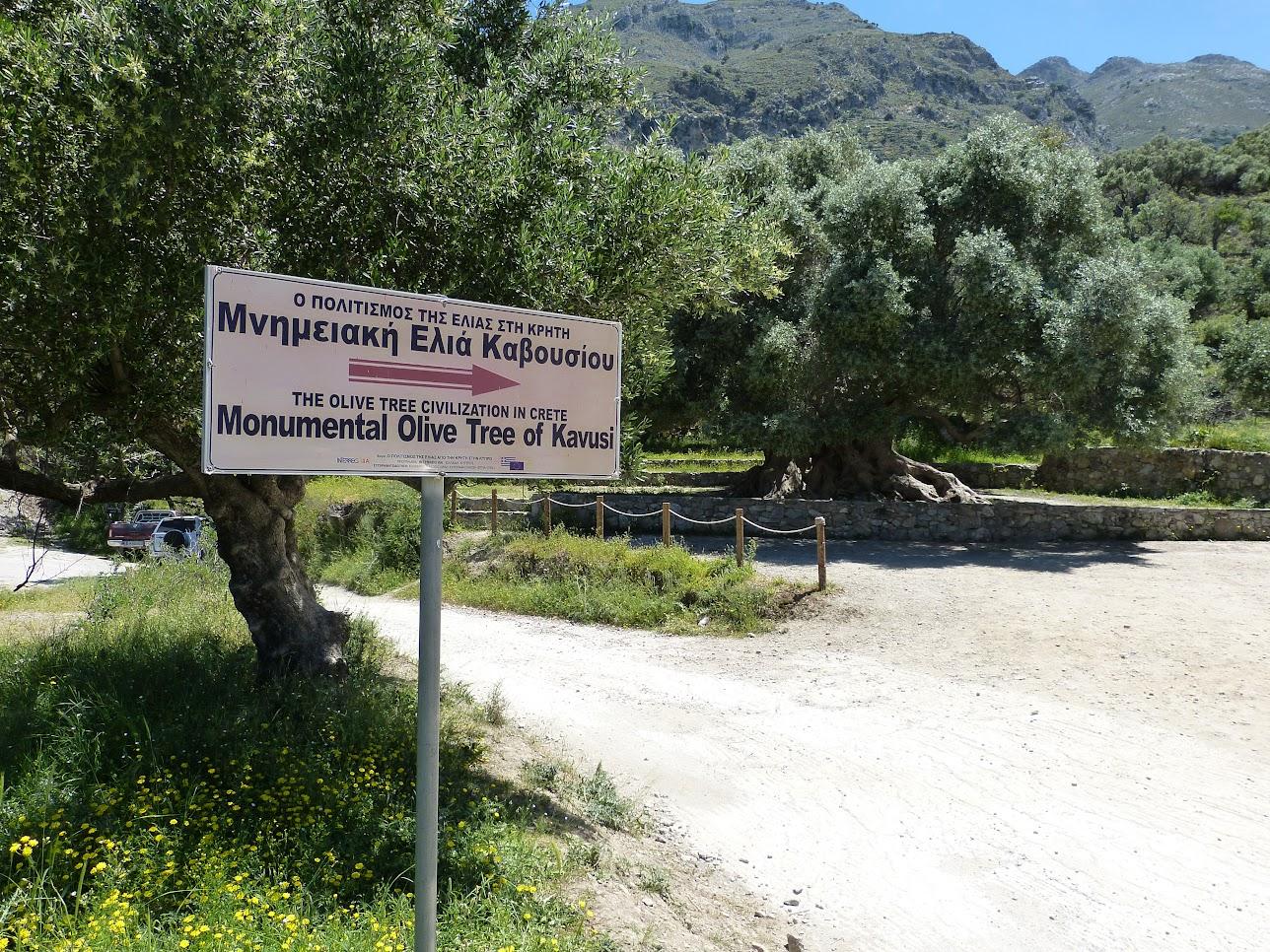 3250 jaar oude olijfboom