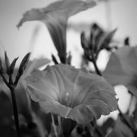 Morning glory by Brenda Shoemake - Black & White Flowers & Plants