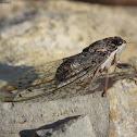 Common Cicada
