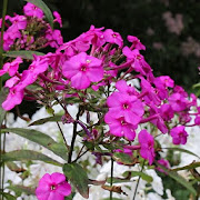 Red phlox after heat