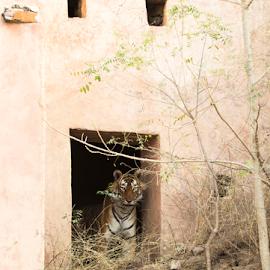 A handsome within a Heritage Door by Jaina Tolia - Animals - Cats Portraits ( kumbha, tiger, ranthanmbore, wildlife, stripbeauty, heritagedoor, indianforest,  )