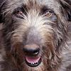 Puzzles Wolfhound irlandais APK
