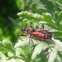 Assassin bug (Rdeči nosan)