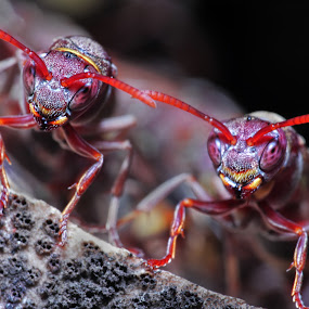 Kembar 2 by Abdie Dedde Darrell - Animals Insects & Spiders ( macro animal )