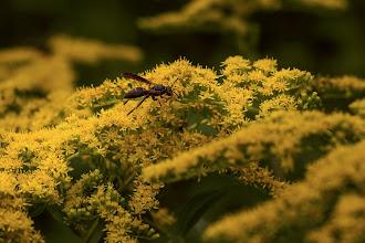 Photo: #307 Wasp