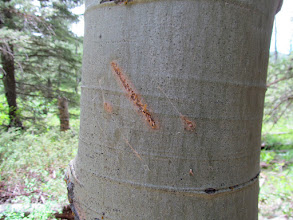 Photo: Bear claw marks on an aspen tree