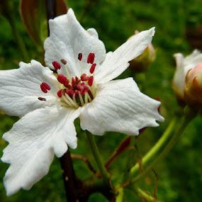 nashi pear flowers by Jasminka Lunjalo - Nature Up Close Flowers - 2011-2013 ( white flower )