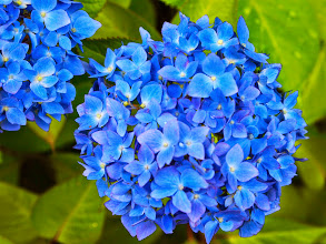 Photo: Hydrangea announcing the arrival of rainy season (Tsuyu) in Fukuoka, Japan. 8th June updated (日本語はこちら) -http://jp.asksiddhi.in/daily_detail.php?id=567