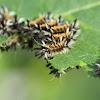 Milkweed Tiger Moth (Milkweed Tussock Moth)