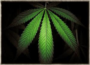 Photo: Marijuana Leaves