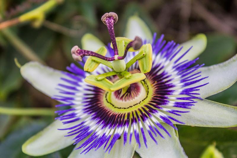 Passiflora di Leon984