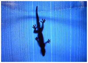 Photo: Gecko in Blue