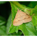 Gesonia obeditalis 螟