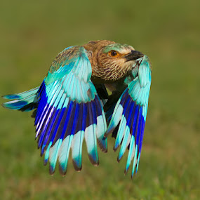Royal Flight by Jineesh Mallishery - Animals Birds