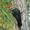 Pileated woodpecker (male)