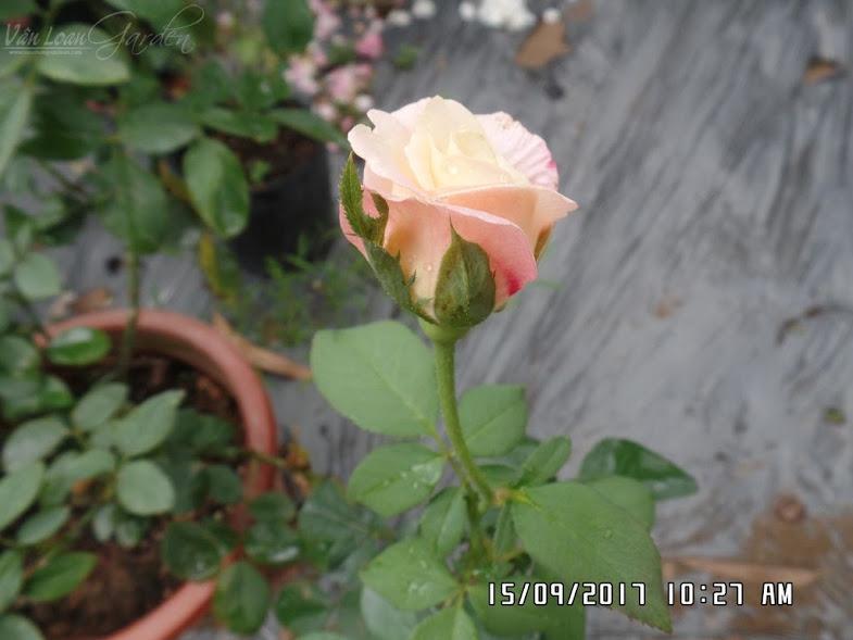 Nụ hoa hồng Double Delight rose