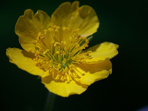 Photo: Geum sylvaticum