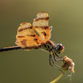 Dragon Fly by Robert Strickland - Animals Insects & Spiders