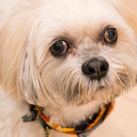 Barney by Sandy Friedkin - Animals - Dogs Portraits ( goodboy, white, long-hair, dog,  )