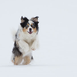 Australian shepard by Anngunn Dårflot - Animals - Dogs Running
