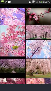 Cherry-Blossom - náhled