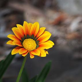 by Carolyn Lawson - Flowers Single Flower