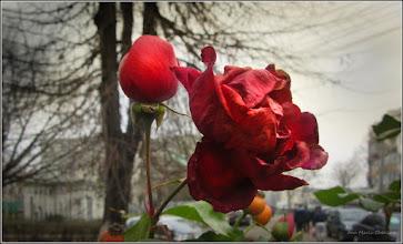 Photo: Trandafir (Rosa) - de pe Calea Victoriei, Bloc B18, spatiu verde - 2018.01.02
