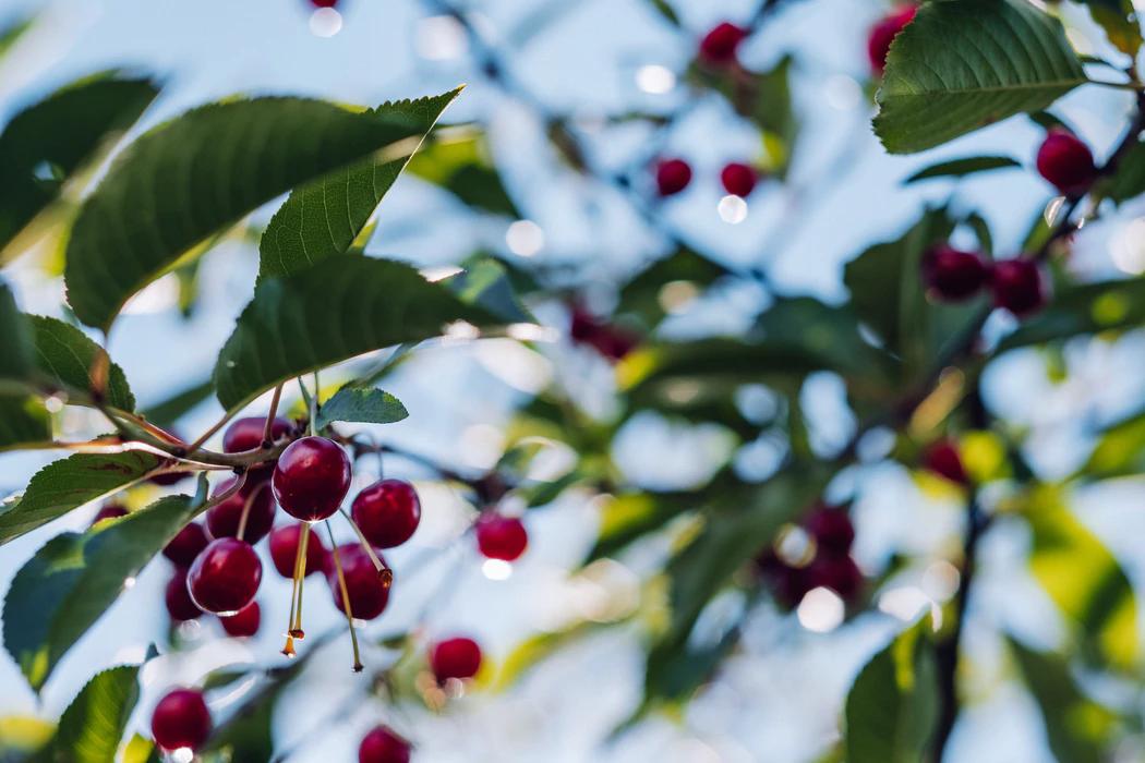 Kirsid puul