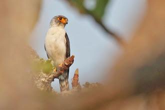 Photo: White-rumped Falcon