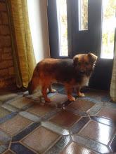 Photo: Zdjęcia Schreka z nowego domu. Pani Karolina piszę,że Schrek lubi spacery, częste ale krótkie, ponieważ na długich się męczy.