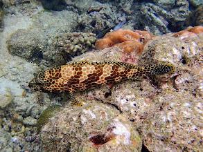 Photo: Epinephelus merra (Honeycomb Grouper), Miniloc Island Resort reef, Palawan, Philippines.