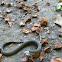 ringed snake (juvenil)