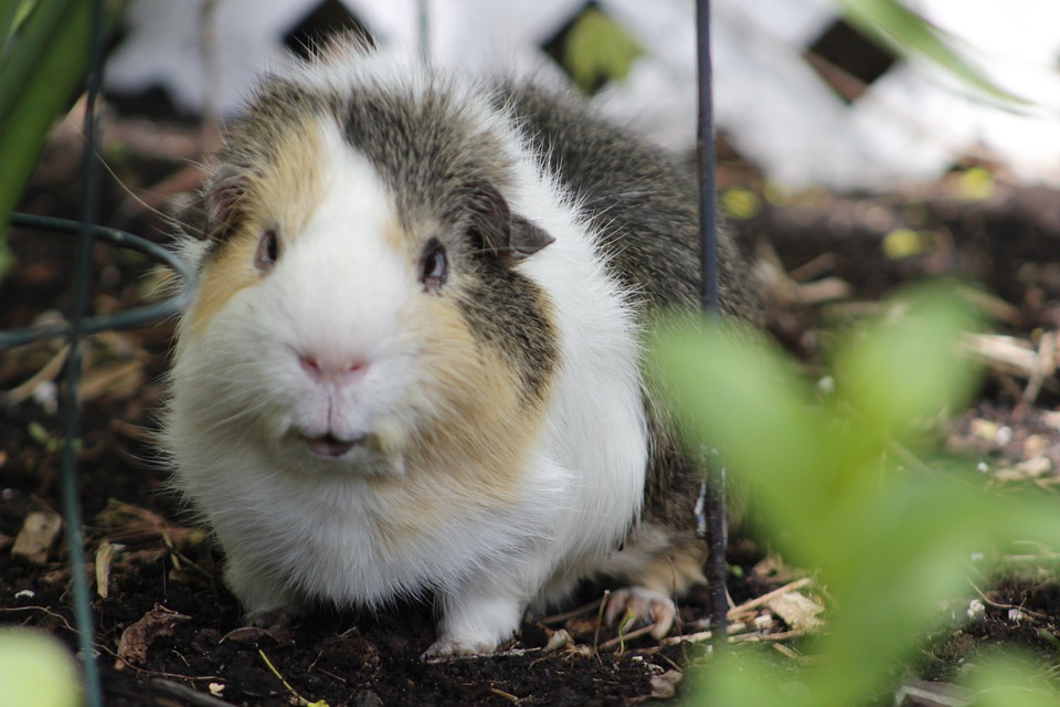 Can Guinea Pigs Live Alone? Do The suffer loneliness
