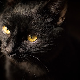 Black Manx 2 by Martin Mák - Animals - Cats Portraits ( look, cat, cat face, beautiful, dark background, yellow, eyes, cats, looking, looks, cat eyes, cat portrait, black, domestic cat )