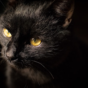 Black Manx 2 by Martin Mák - Animals - Cats Portraits ( look, cat, cat face, beautiful, dark background, yellow, eyes, cats, looking, looks, cat eyes, cat portrait, black, domestic cat )
