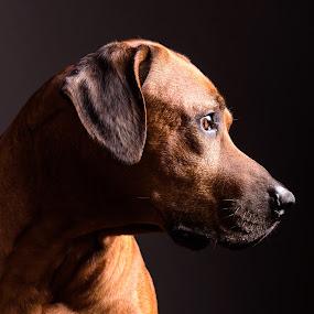 Fogo 4 by Anita Meis - Animals - Dogs Portraits ( rhodesian rigdeback, african, low key, hunting dog, dark, dog, portrait, ridge )