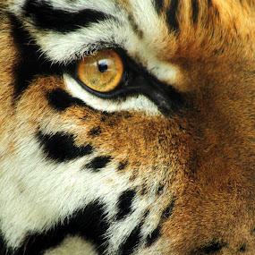 Toma Macro by Amanda Westerlund - Animals Other Mammals